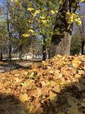 A pile of autumn leaves in the sun. Leaves lie in the sun and wait to be thrown away Royalty Free Stock Photo