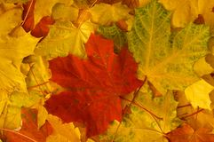 Pile of autumn maple leaves. Pile of autumn red, green and yellow maple leaves stock image