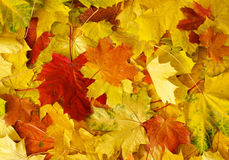 Pile of autumn maple leaves. Pile of autumn red, green and yellow maple leaves royalty free stock photos