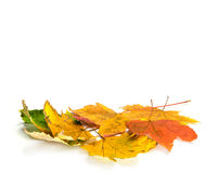 A pile of autumn maple leaves. On white background Stock Photo