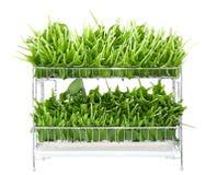 Pile of bear garlic Royalty Free Stock Image