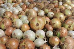 Pile of beautiful bulb onions on the field Royalty Free Stock Images