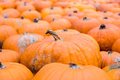 Pile of big orange pumpkins, natural background Stock Photography