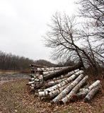 Pile of birch logs Stock Photography