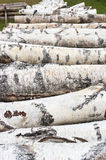 Pile of birch wood Stock Image