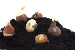 Pile of black garden soil and flower bulbs over white background Stock Images
