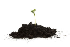 Pile of black garden soil with young plant. For new life over white background royalty free stock photography