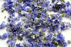 Pile of Blue Germander speedwell also known as Veronica chamaedrys