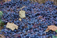 Pile of blue grapes Stock Images