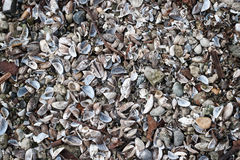 Pile of Blue Mussel shells Stock Photography