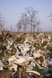 A pile of bones of dead cows eaten by vultures, at Jatayu restaurant , Lumbini, Nepal Stock Image