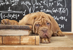 Pile of Books and puppy Stock Images