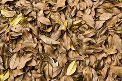 Pile of brown holy leaves Stock Image