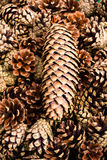 Pile of   brown pine cones for backgrounds or textures. Royalty Free Stock Photos