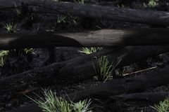 Pile Of Burned Gum Tree Logs After Wild Fires royalty free stock photography