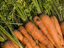 Pile of carrots Royalty Free Stock Photography