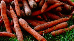 A pile of carrots  (Daucus carota) on the ground. Carrots crop. stock footage