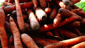 A pile of carrots  (Daucus carota) on the ground, panoramic. Carrots crop. stock footage