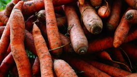 A pile of carrots  (Daucus carota) on the ground, panoramic,sound. Carrots crop. stock footage
