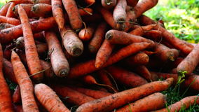 A pile of carrots  (Daucus carota) on the ground, tilt down. Carrots crop. stock footage