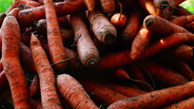 A pile of carrots  (Daucus carota) on the ground, tilt up. Carrots crop. stock footage