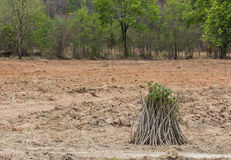 Pile of cassava bulb with cassava tree on ground Royalty Free Stock Photo