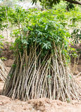 Pile of cassava bulb with cassava tree on ground Stock Image