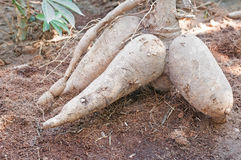 Pile of cassava bulb Stock Images