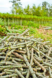 Pile of cassava trunk cutting Royalty Free Stock Photography