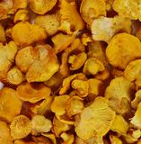 Pile of chanterelle mushrooms isolated on the white background. Edible mushrooms Stock Image