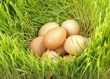 Chicken eggs between green wheat Royalty Free Stock Photo
