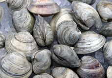 A pile of clams on ice. A pile of chilled clams shells seen on ice at fish market Stock Photo