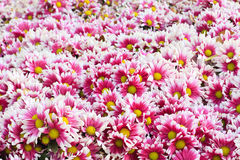 Pile of Chrysanthemum. Pile of Chrysanthemum flower,background Royalty Free Stock Photos