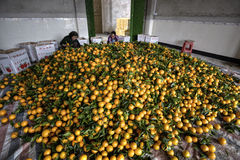 Pile citrus fruits, many new harvest of oranges, women packing Stock Photos