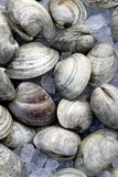 A pile of clams on ice. A pile of chilled clams shells seen on ice at fish market Royalty Free Stock Image