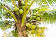 Pile of coconuts with bunches Stock Photos