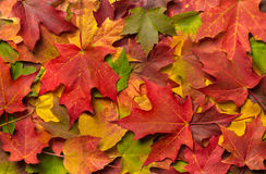 Colorful Autumn Fall Leaves. A pile of fall leaves highlighting red, orange, green, gold and yellow stock images