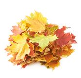 Pile of colorful maple leaves isolated Stock Images