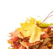 Pile of colorful maple leaves isolated Stock Photo