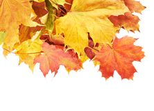 Pile of colorful maple leaves isolated Royalty Free Stock Image