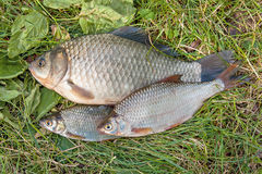 Pile of the common bream fish, crucian fish, roach fish, bleak f Stock Photo