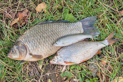 Pile of the common bream fish, crucian fish, roach fish, bleak f Royalty Free Stock Image