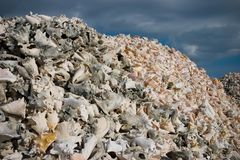 Pile of Conch shells Stock Photography