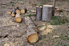 Pile of coniferous firewood Royalty Free Stock Image