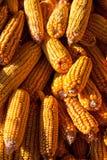 Pile of corn Royalty Free Stock Image