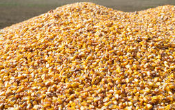 Pile of corn Stock Photography