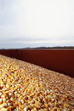 Pile of corn Royalty Free Stock Photo