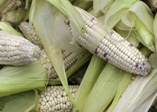 A pile of corn cobs Royalty Free Stock Image