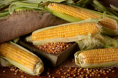 Pile corn cobs Royalty Free Stock Image