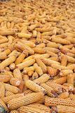Pile of corn ears  Stock Photography